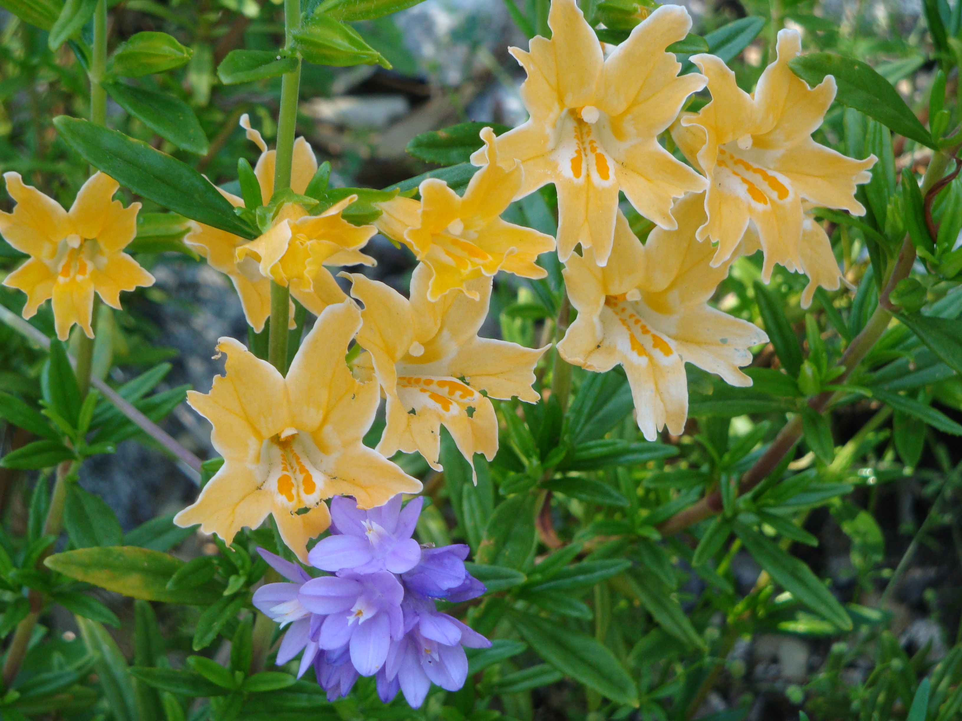 Wildflower of the Week Santa Lucia Sticky Monkey Flower