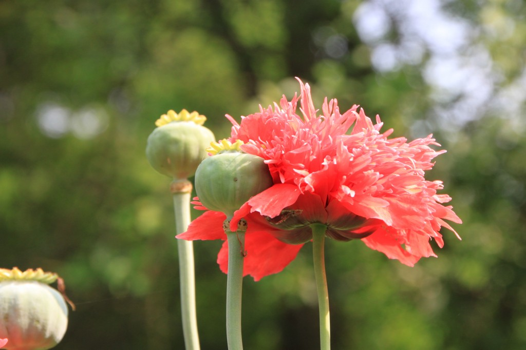 Wildflower of the week opium poppies xasuan today papaver somniferum mightylinksfo