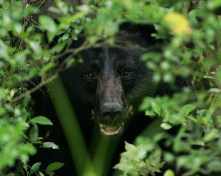Black_bear_in_the_bushes